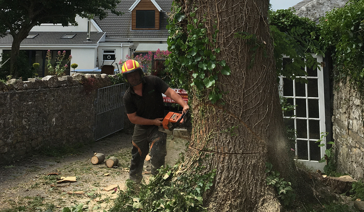Felling a mature tree within the confines of a driveway and property in Llantwit Major